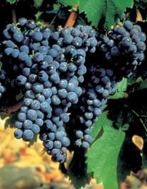 grappe-carignan.jpg