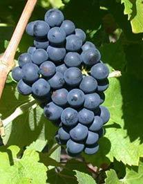 grappe-syrah.jpg